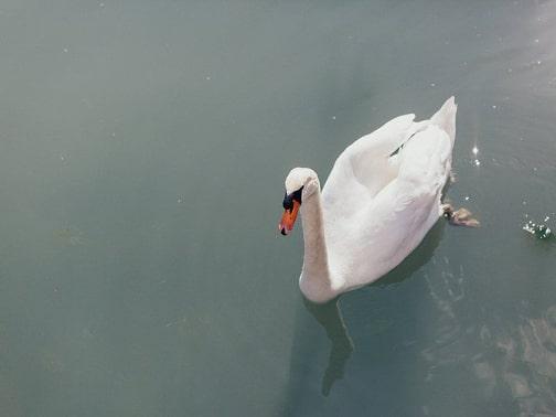 Schwan im See – gesehen bei frauimmer-herrewig.de
